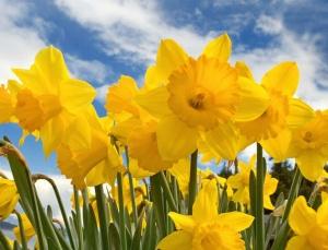 Daffodil-Day-300x229