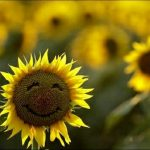 sunflowers-happy-spring-summer-seasons-flowers